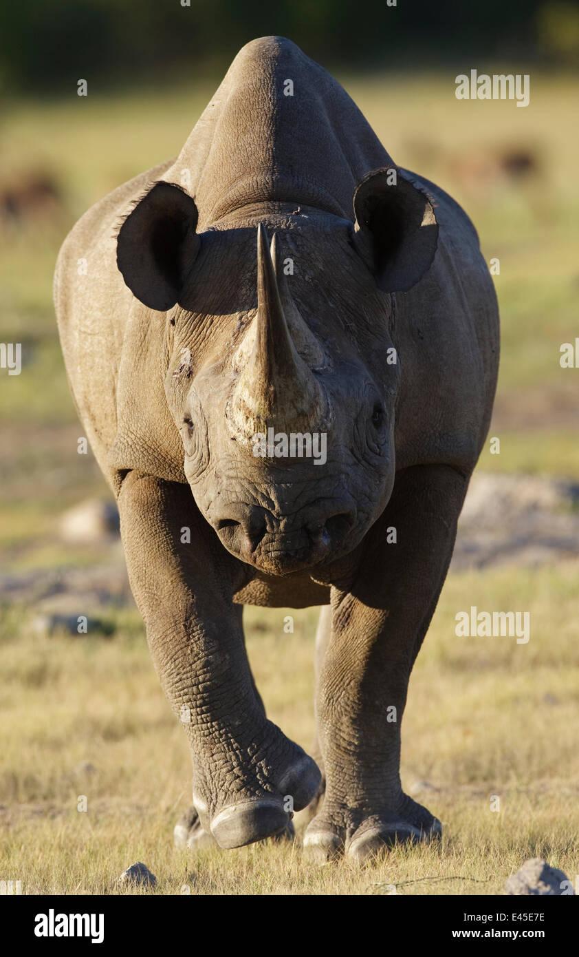 Black rhinoceros (Diceros bicornis) charging, Etosha National Park, Namibia, January - Stock Image