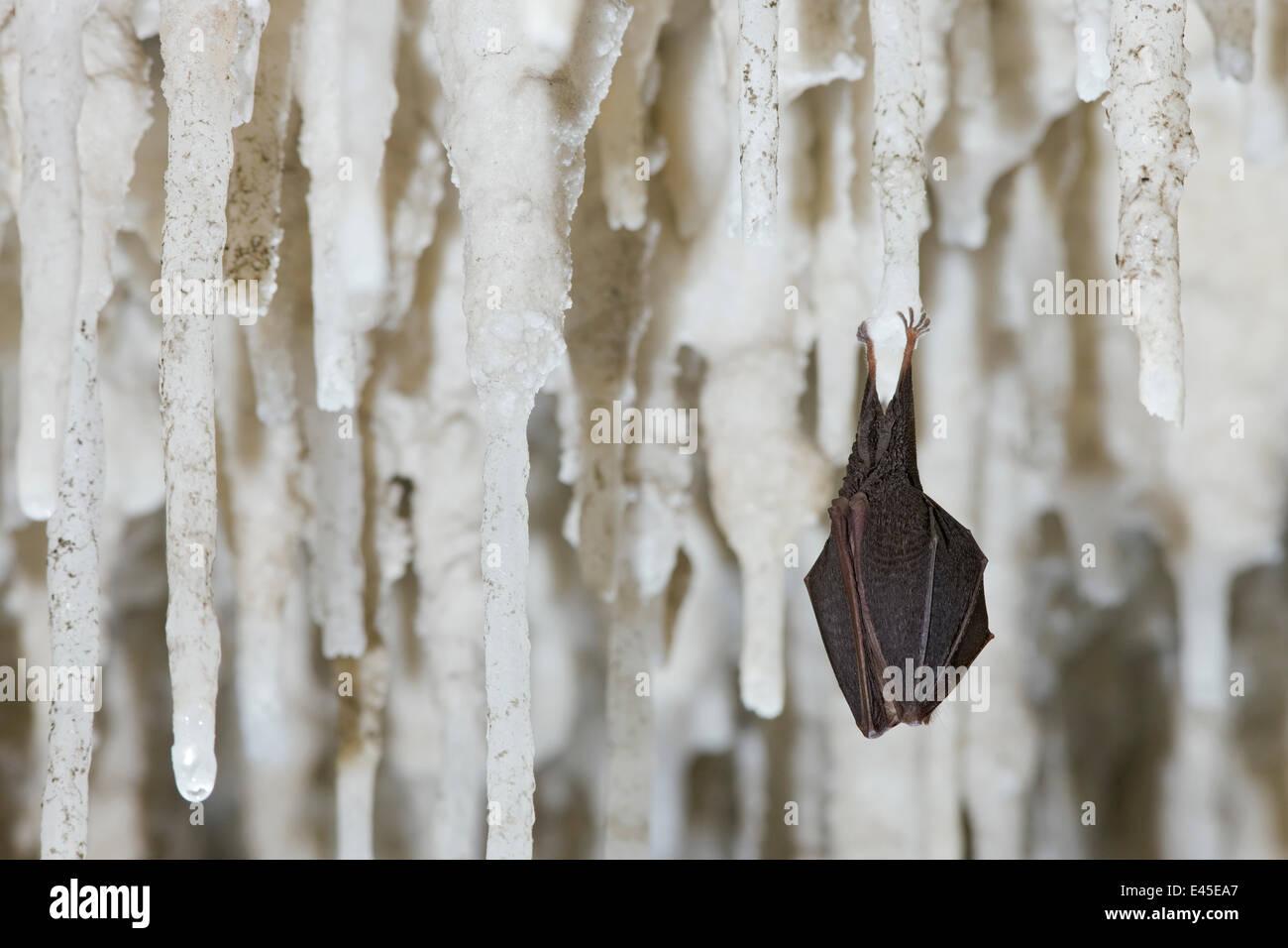 Lesser Horseshoe Bat (Rhinolophus hipposideros)  hibernating amongst stalactites, Grotta Monte Majore, Gennargentu - Stock Image