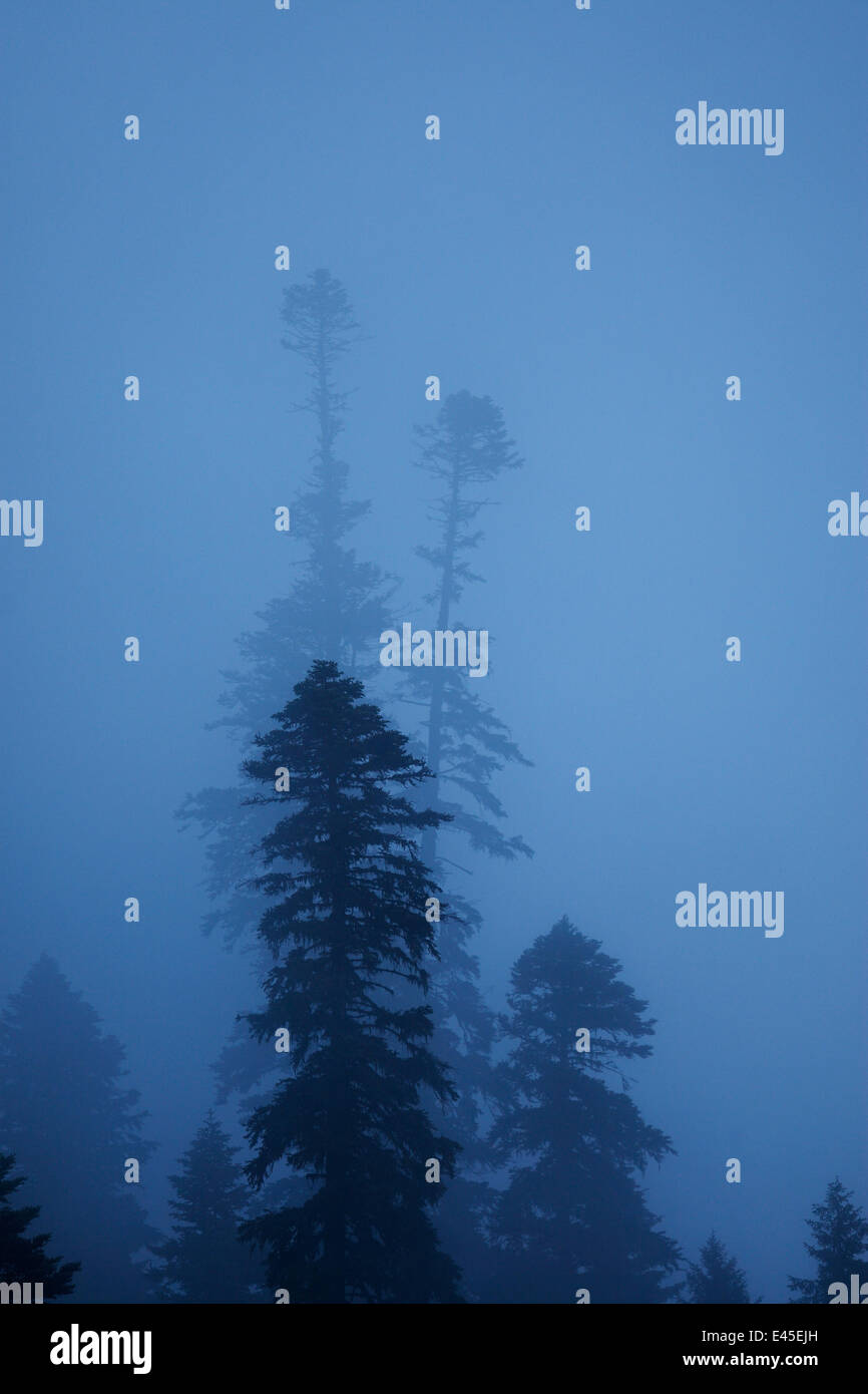 Nordmann fir (Abies nordmanniana) trees in fog, near Dombay, Teberdinsky biosphere reserve, Caucasus, Russia, July - Stock Image
