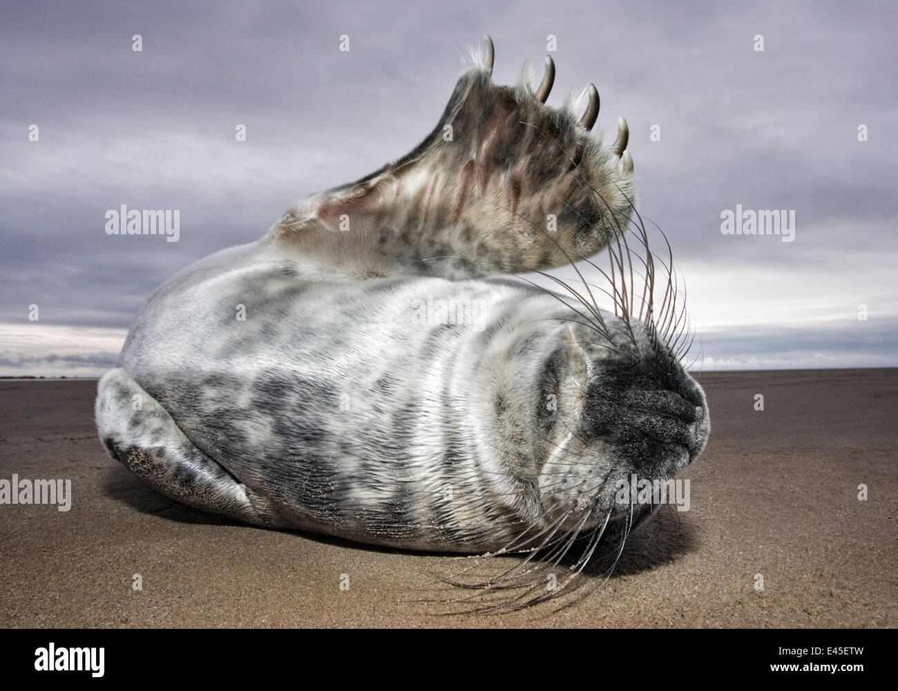 Juvenile Grey Seal {Halichoerus grypus} rolling on sand, waving flipper, Donna Nook, Lincolnshire, England, January Stock Photo
