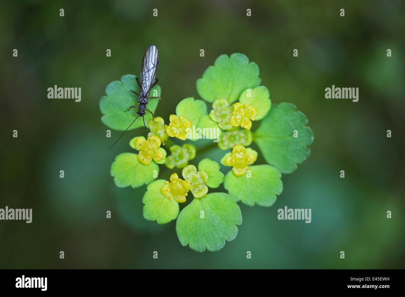 Stone fly (Leuctra fusca) on Alternate-leaved Golden Saxifrage (Chrysosplenium alternifolium)    Zelske Jame, Skocjan - Stock Image