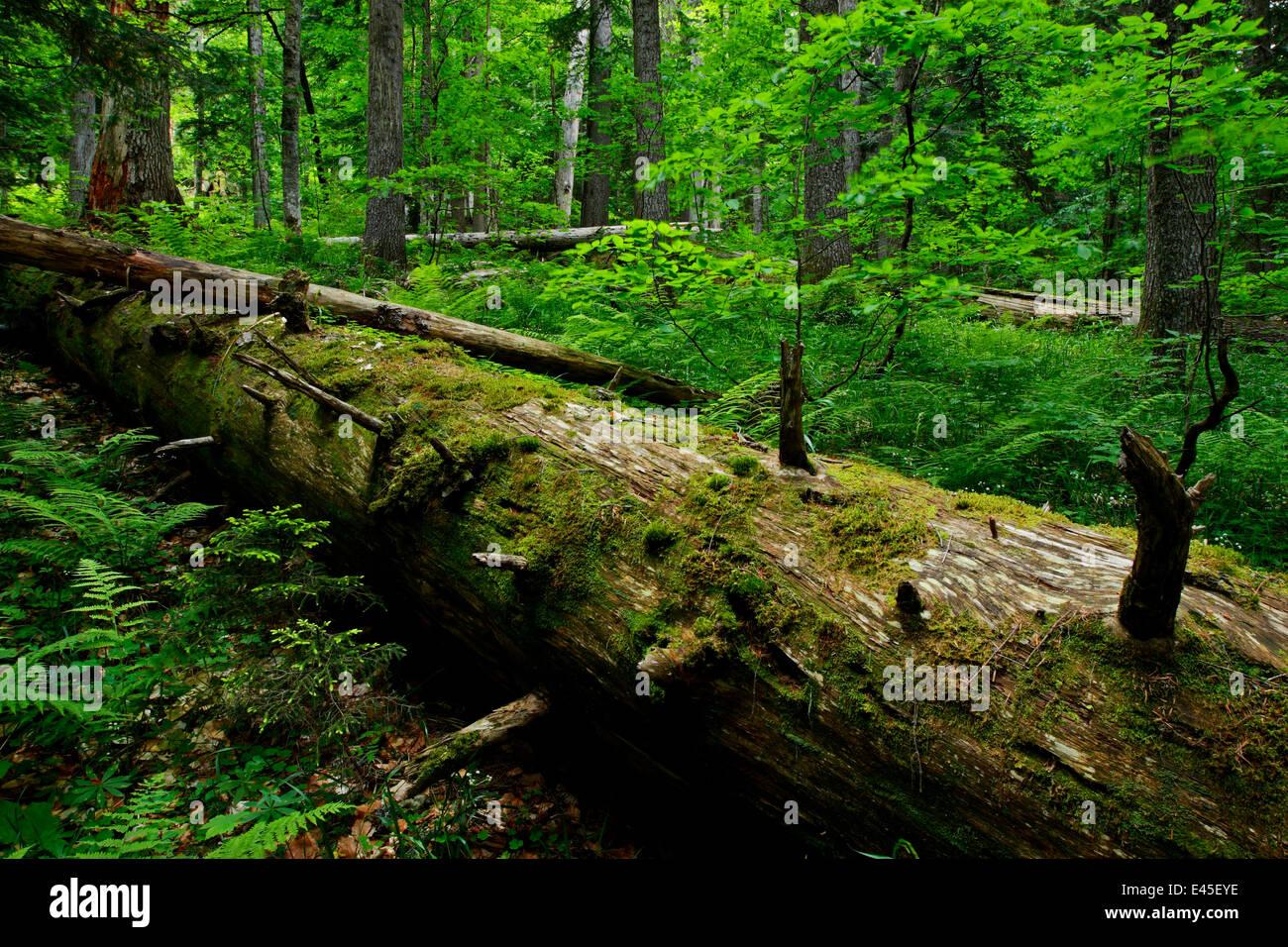 Fallen Nordmann fir (Abies nordmanniana) tree, old-growth forest, Arkhyz valley, western part of the Teberdinsky - Stock Image