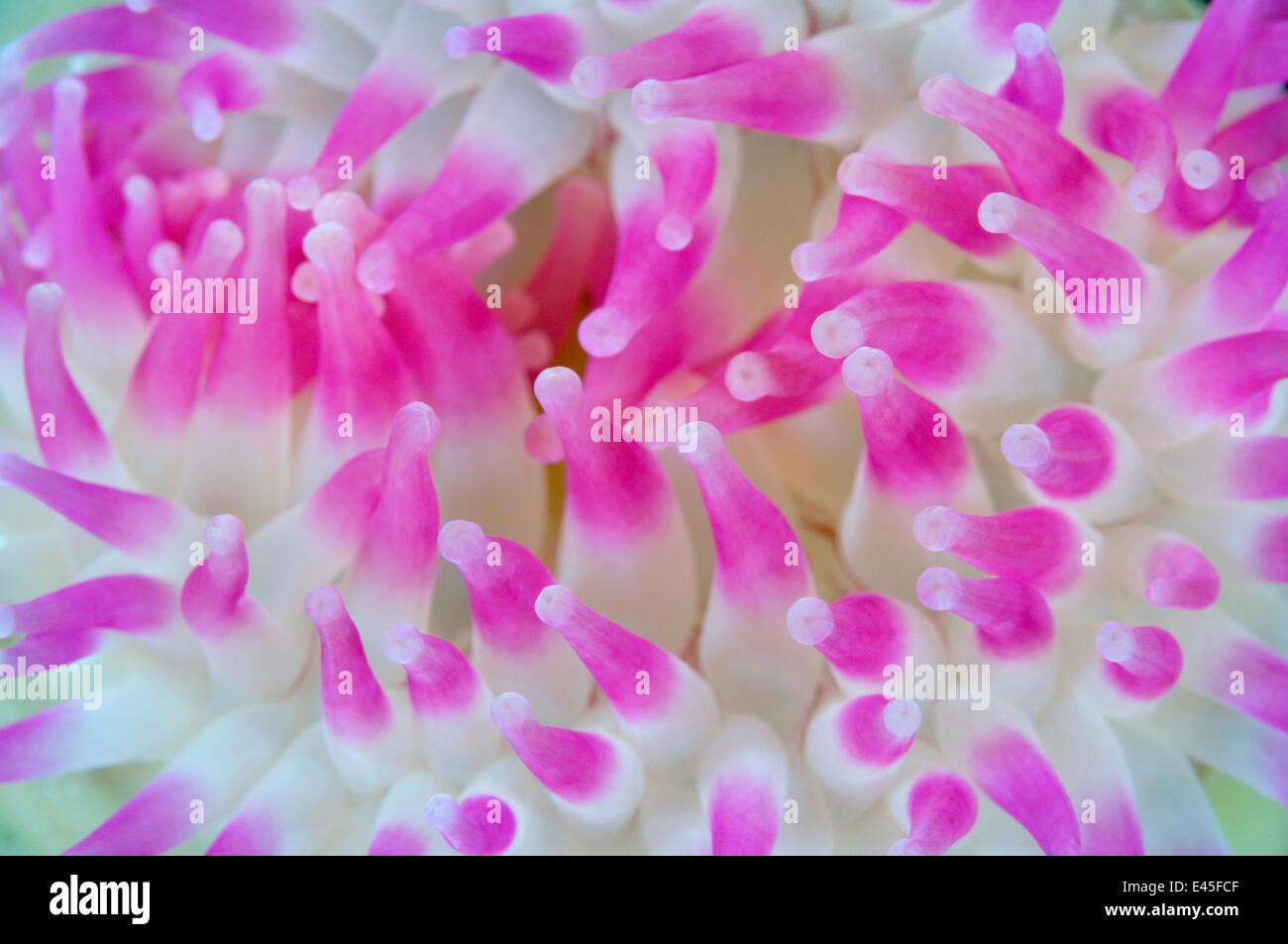 Dahlia Anemone Urticina Felina Close Up Saltstraumen Bod Stock