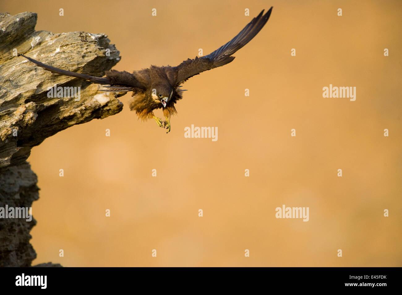 Eleonora's falcon (Falco eleonorae) taking off from rock ledge, Andros, Greece, September 2008 WWE BOOK. WWE - Stock Image