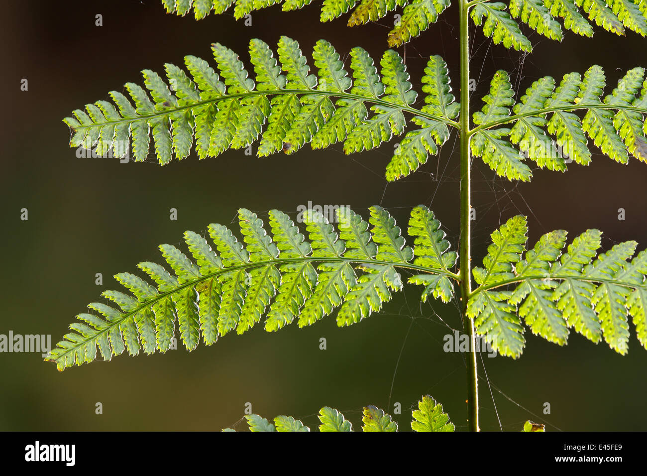 Close-up of Fern frond with spiders webs on it, Dlouhy Dul, Ceske Svycarsko / Bohemian Switzerland National Park, - Stock Image