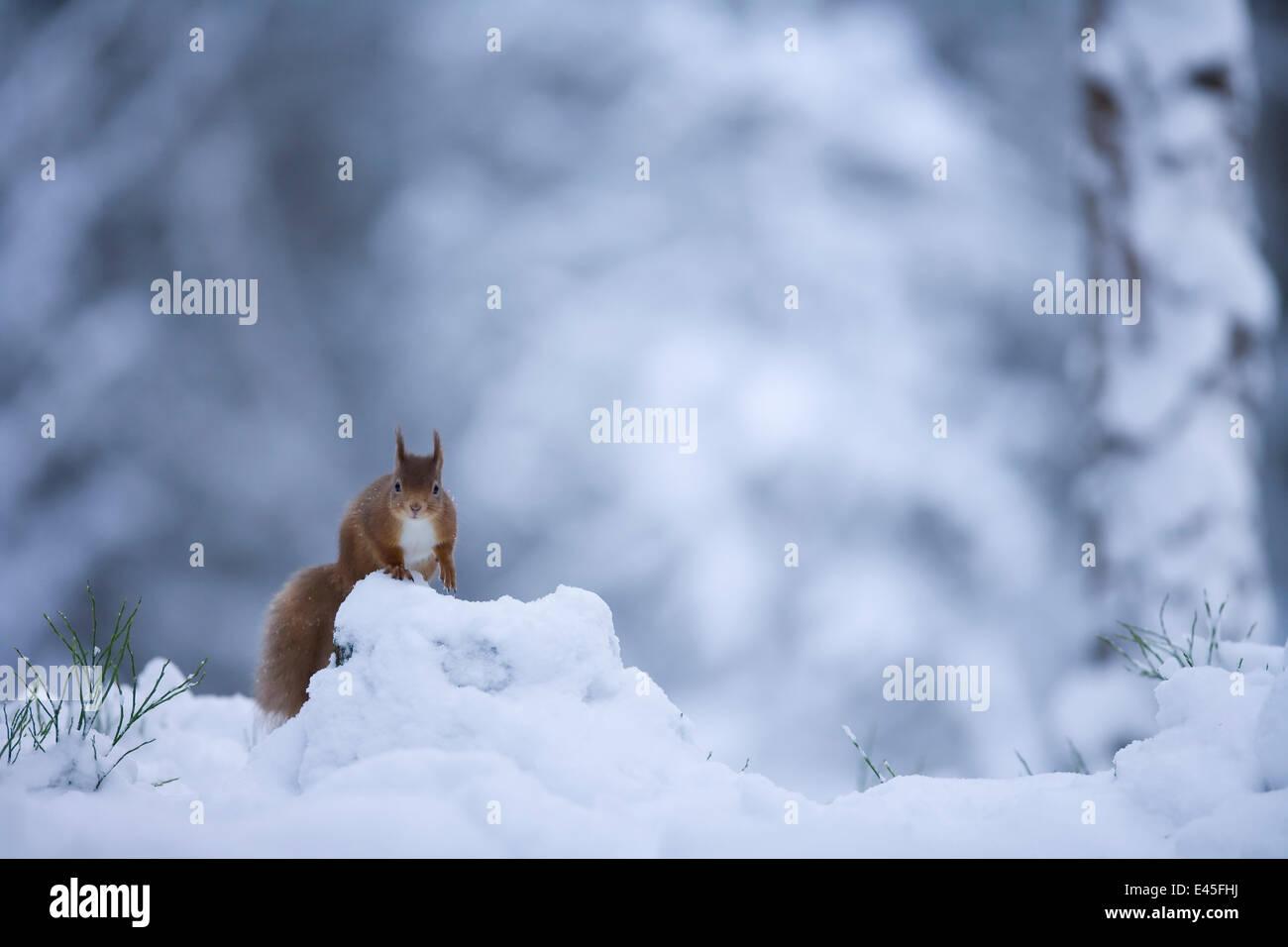 Red squirrel (Sciurus vulgaris) in snow, Glenfeshie, Cairngorms NP, Scotland, February 2009 - Stock Image
