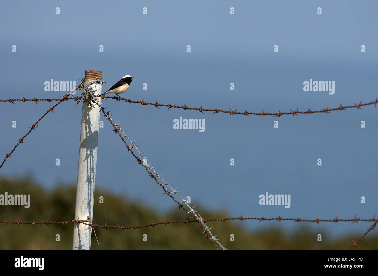 Cyprus pied wheatear (Oenanthe cypriaca) perched on barbed wire singing, Northern Cyprus, April 2009 Stock Photo