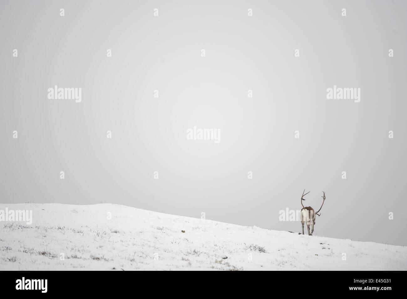 Rear view of Reindeer (Rangifer tarandus) in snow, Forollhogna National Park, Norway, September 2008 Stock Photo