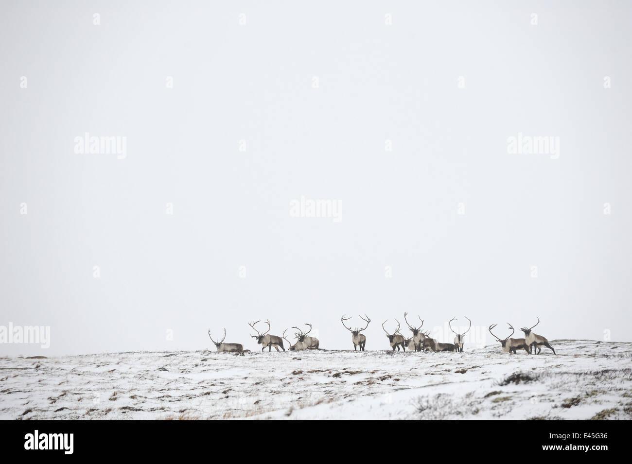 Reindeer (Rangifer tarandus) herd in distance in snow, Forollhogna National Park, Norway, September 2008 Stock Photo
