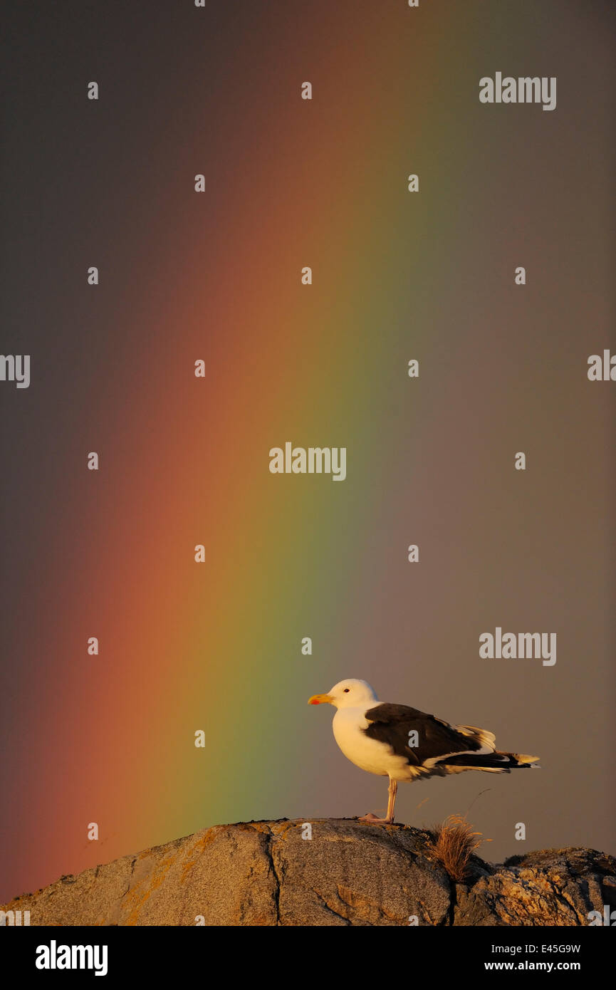 Greater black backed gull (Larus marinus) standing on rock with rainbow, North Atlantic, Flatanger, Nord-Trøndelag, - Stock Image