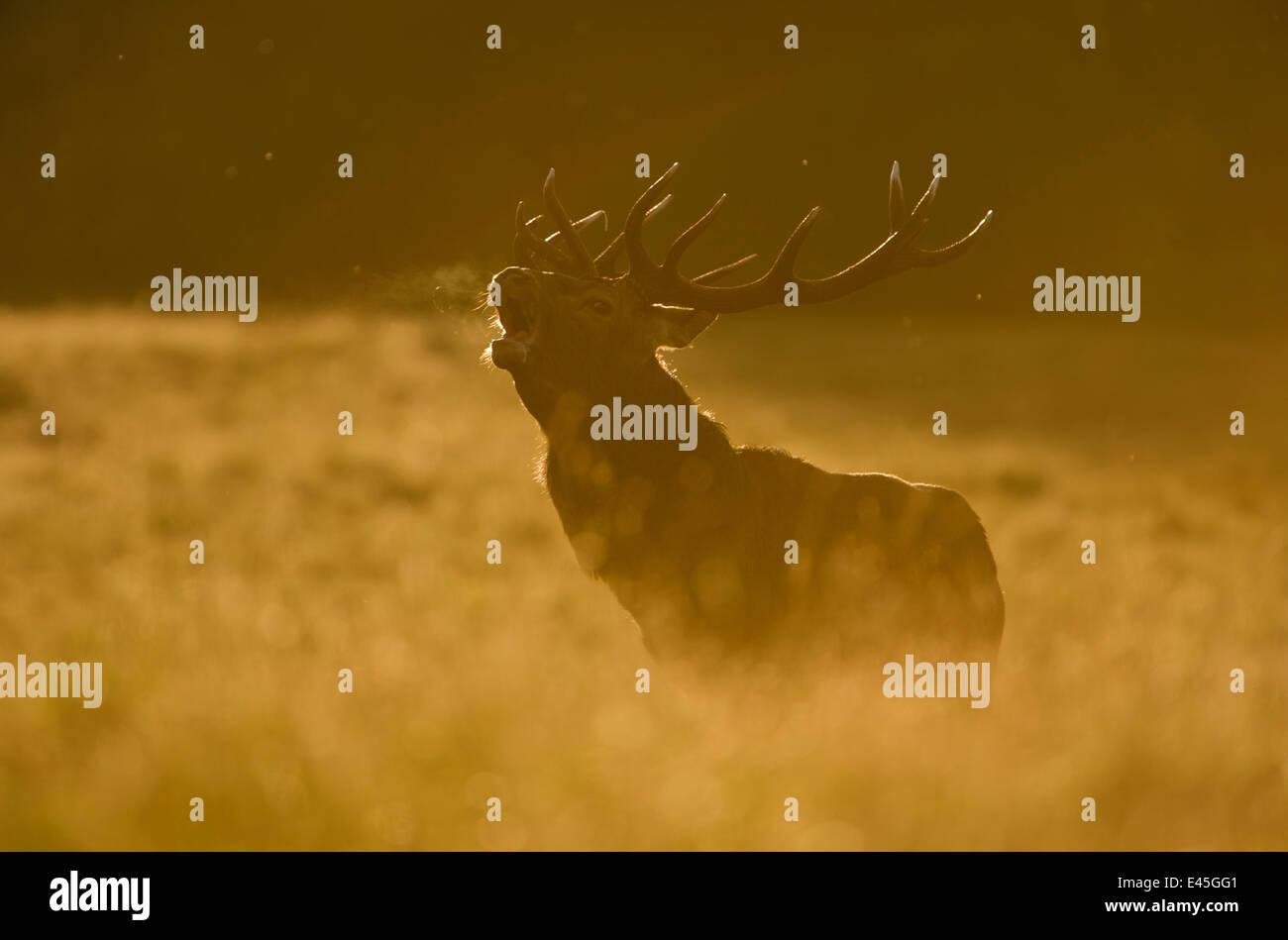 Red deer (Cervus elaphus) calling at sunset, during rut, Klampenborg Dyrehaven, Denmark, September 2008. WWE INDOOR - Stock Image