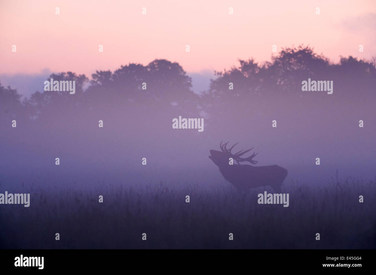 Red deer (Cervus elaphus) stag calling during rut, light mist at sunrise, Klampenborg Dyrehaven, Denmark, September - Stock Image