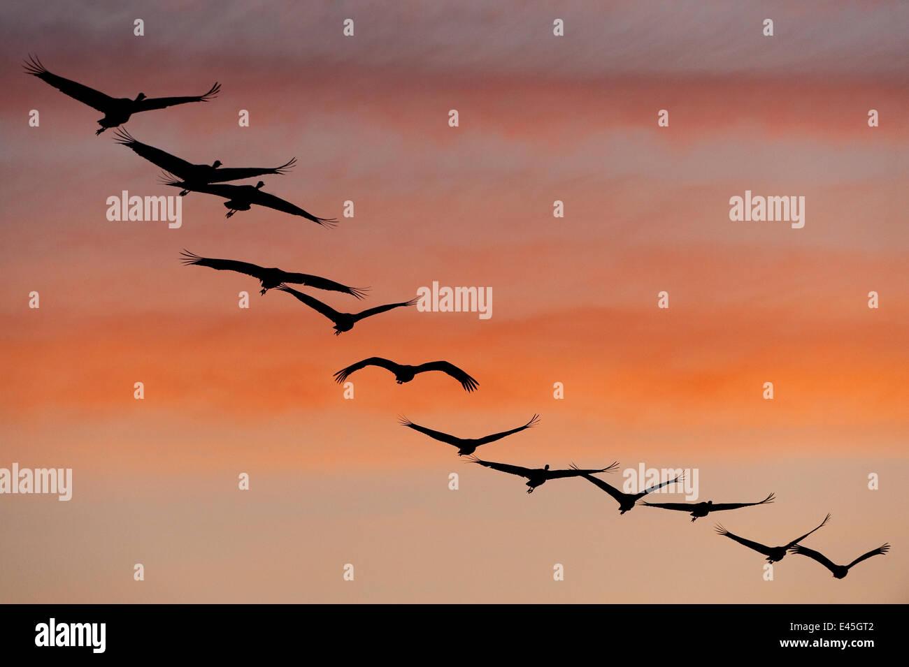 Common / Eurasian cranes (Grus grus) flying in a line, silhouetted at sunrise, Lake Hornborga, Hornborgasjön, Sweden, Stock Photo