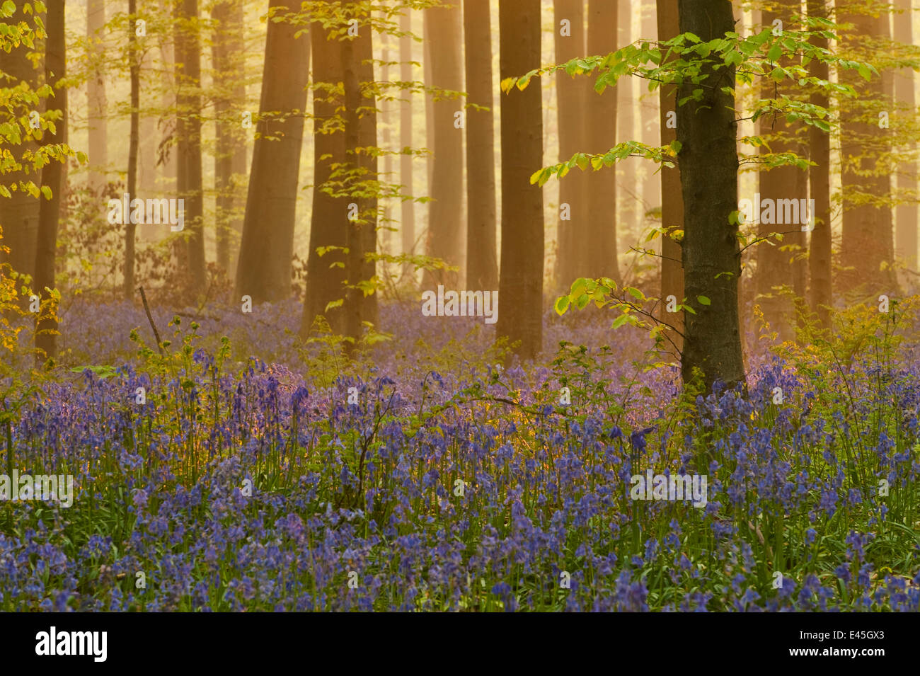 Bluebells (Hyacinthoides non-scripta / Endymion non-scriptum) flowering in wood, dawn light, in Beech wood, Hallerbos, - Stock Image