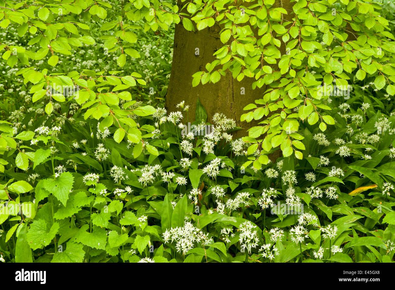 European beech tree (Fagus sylvatica) and undergrowth including Wild ...