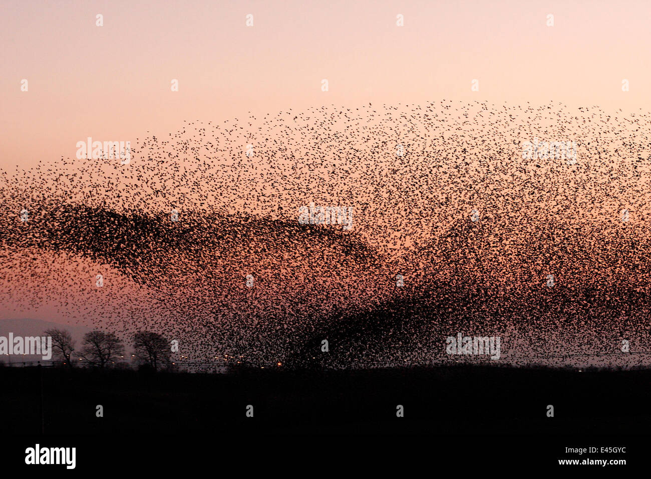 Large flocks of Common starlings (Sturnus vulgaris) going to roost at dusk, Gretna Green, Scotland - Stock Image
