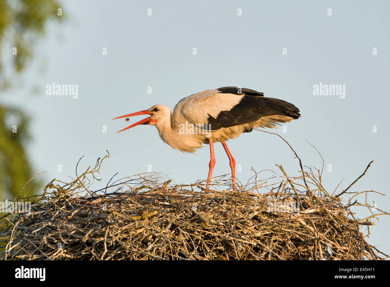 White stork (Ciconia ciconia) adult in breeding plumage, tossing food into beak to feed, Lithuania, May 2009 - Stock Image