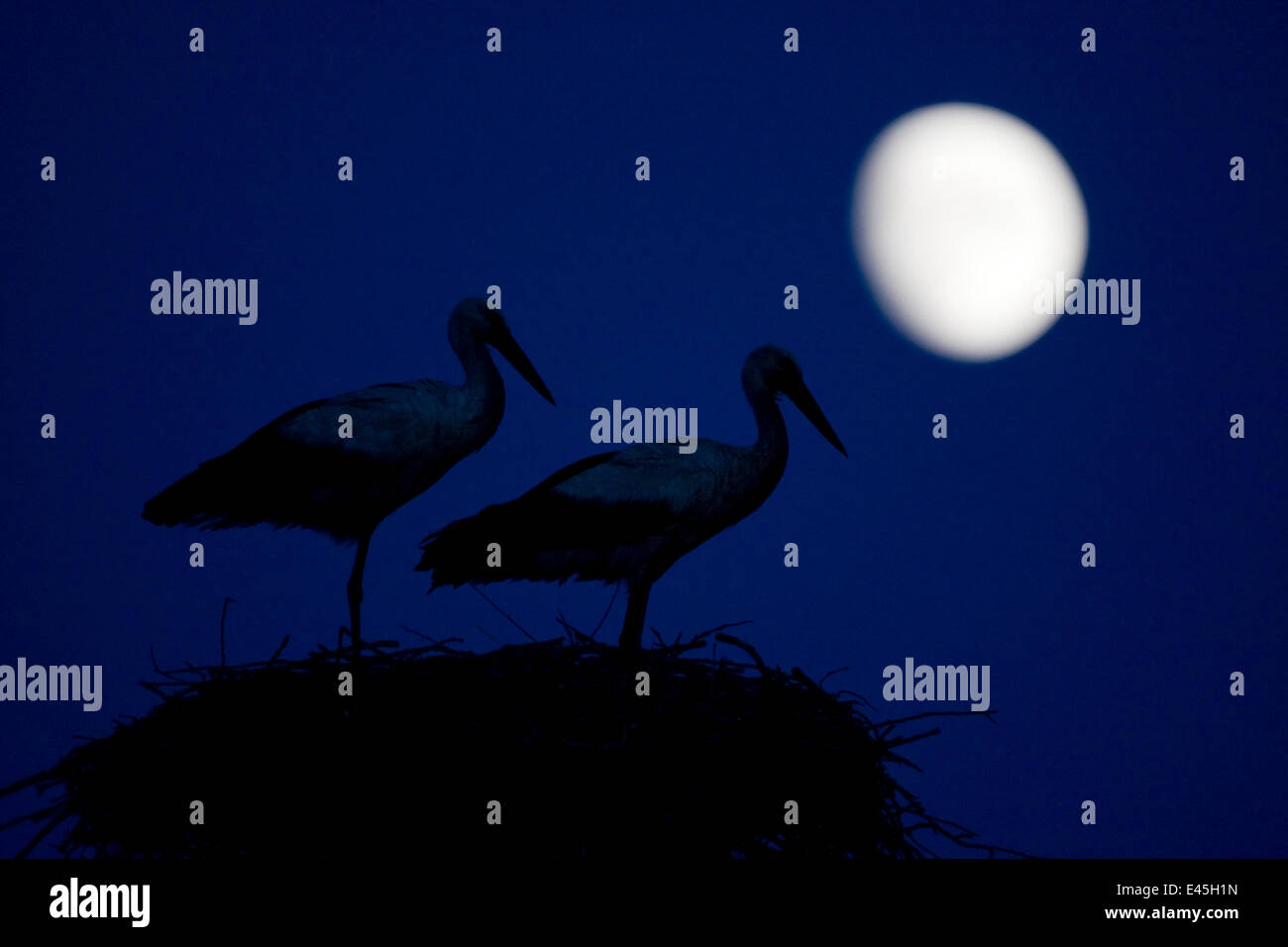 White stork (Ciconia ciconia) pair at nest, dusk, with moon, Nemunas Delta, Lithuania, June 2009 - Stock Image