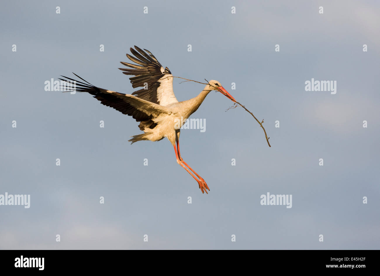 White stork (Ciconia ciconia) flying to nest with nesting material, Rusne, Nemunas Regional Park, Lithuania, June Stock Photo