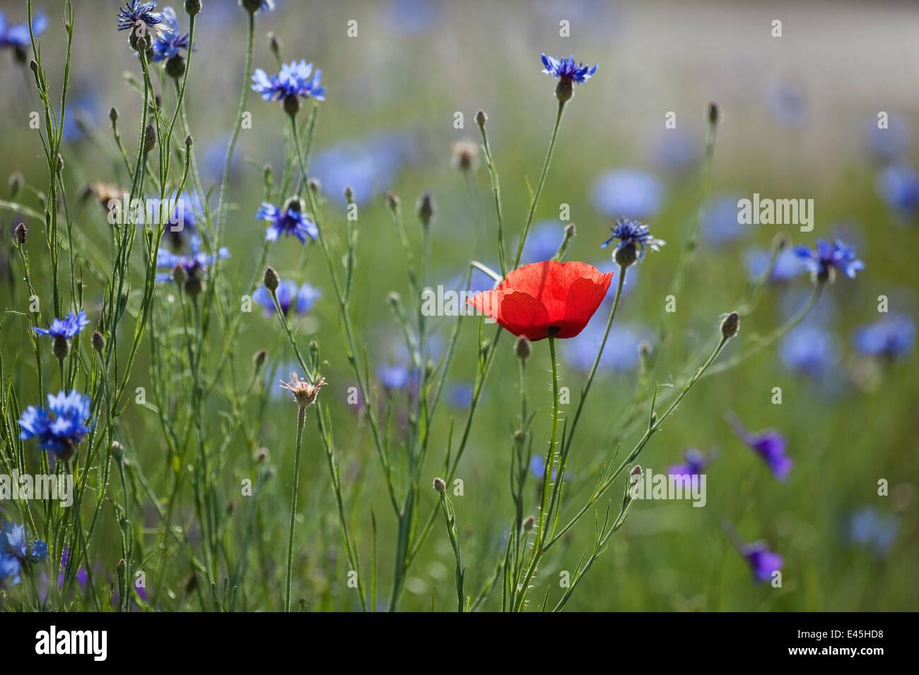 Red poppy (Papaver rhoeas) Brown knapweed (Centaurea jacea) and Forking larkspur (Delphinium / Consolida regalis) - Stock Image