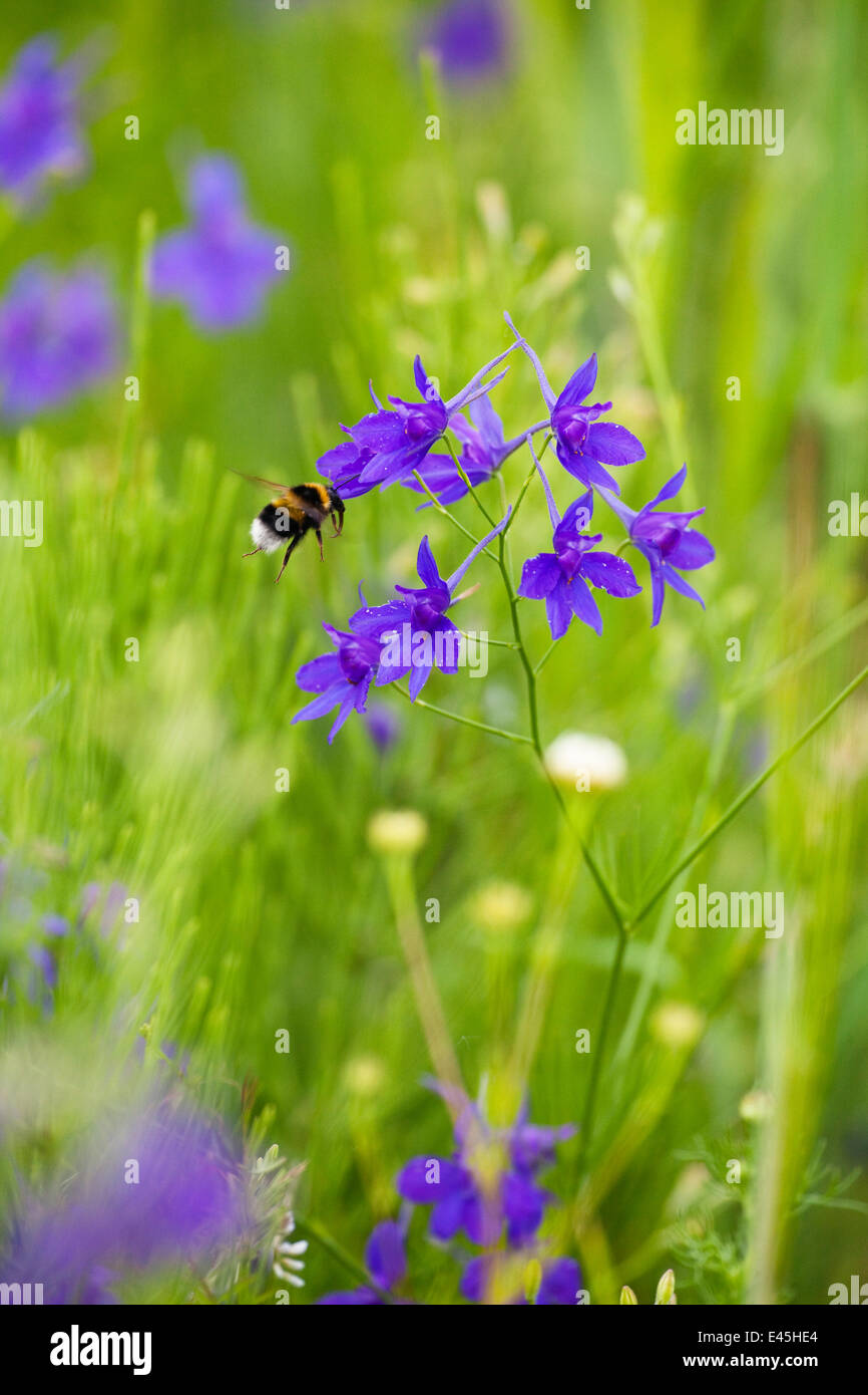 Field larkspur (Consolida regalis / Delphinium consolida) with Bumble bee flying by flower, Eastern Slovakia, Europe, - Stock Image