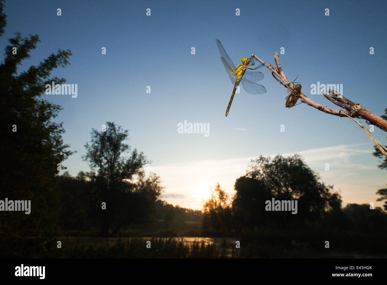 Vagrant darter (Sympetrum vulgatum) on twig with larval case, Gornje Podunavlje Special Nature Reserve, Serbia, - Stock Image