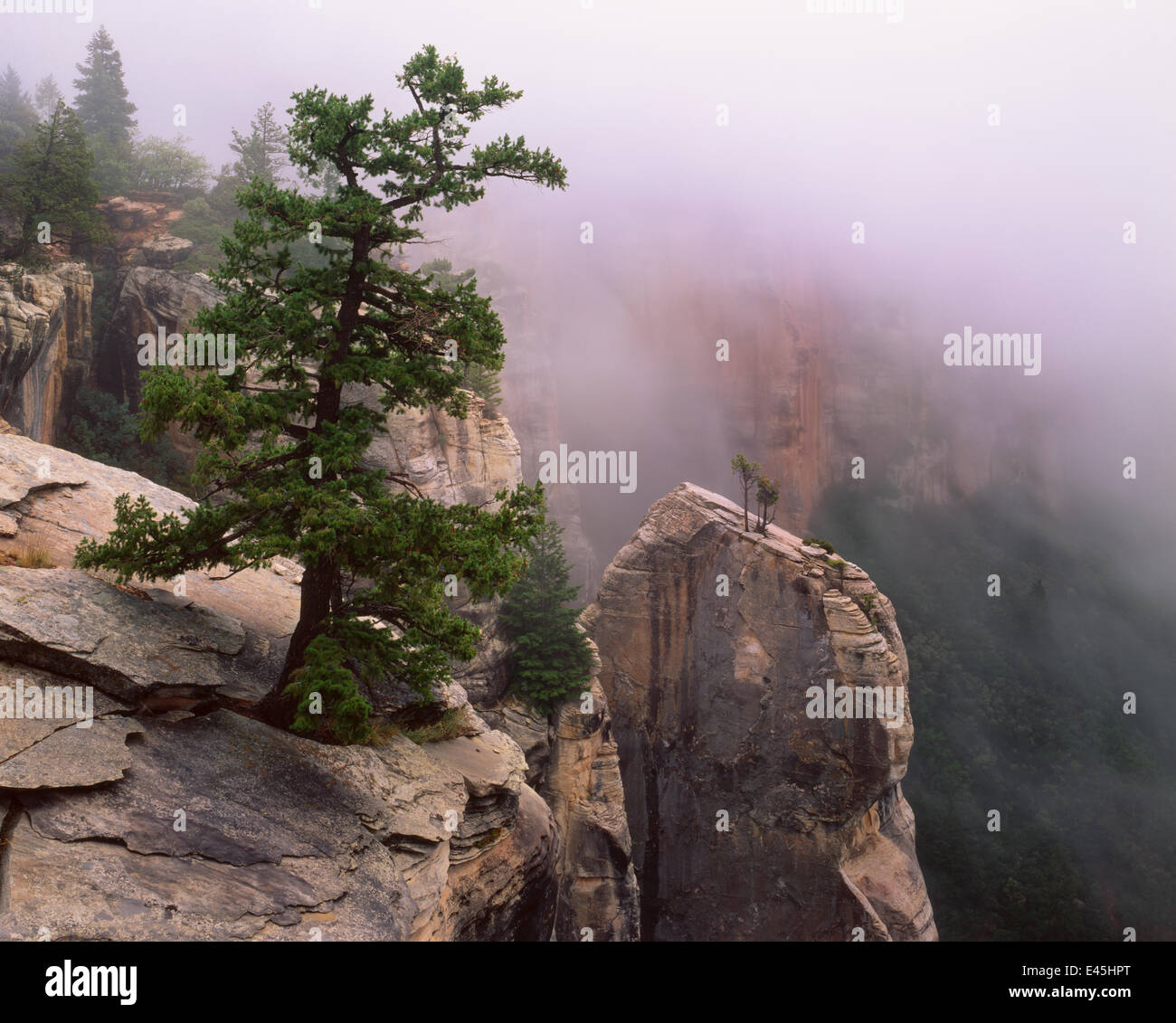 Pinyon pine (Pinus edulis) and Utah juniper (Juniperus osteosperma) on kaibab limestone spires in morning fog, North - Stock Image