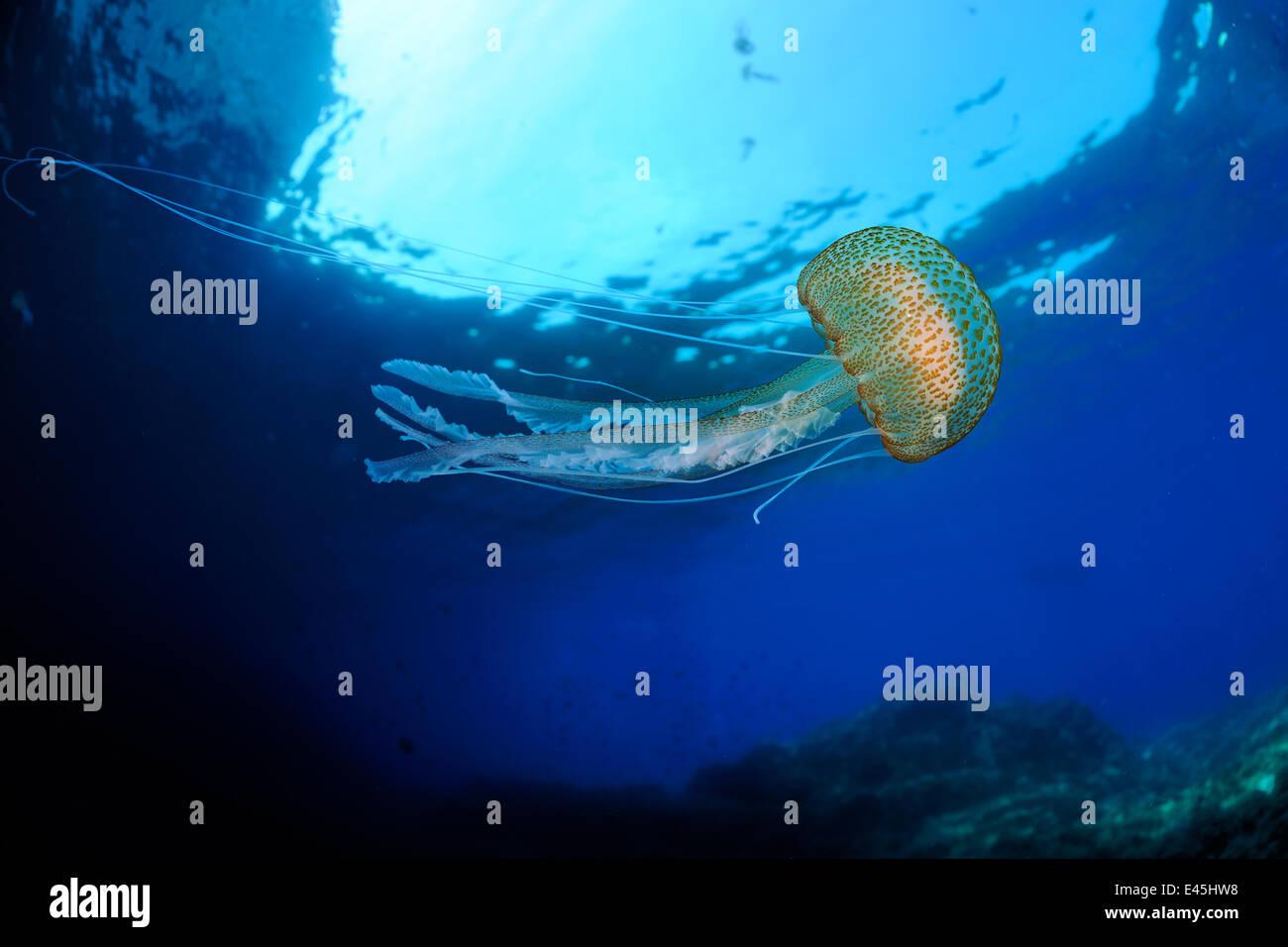 Purple stinger / Common jellyfish (Pelagia noctiluca) Malta, Mediteranean, May 2009 - Stock Image