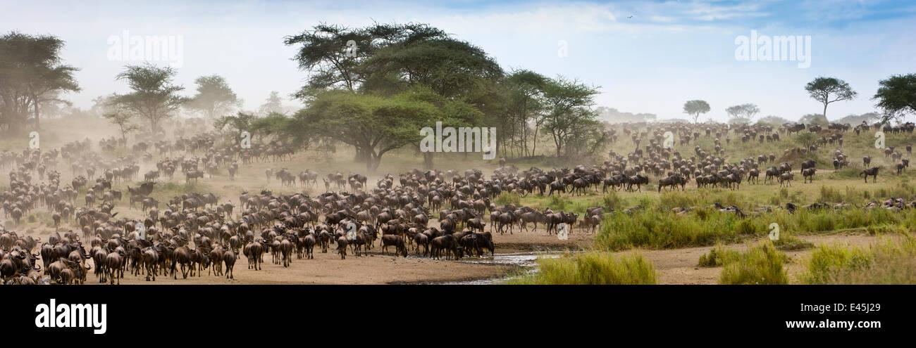 Massing herds of White bearded wildebeest (Connochaetes taurinus albojubatus) on migration, Serengeti National Park, Stock Photo