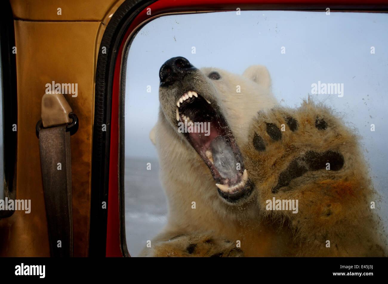 Polar bear, Ursus maritimus, tries to bite truck window, 1002 coastal plain of the Arctic National Wildlife Refuge, - Stock Image