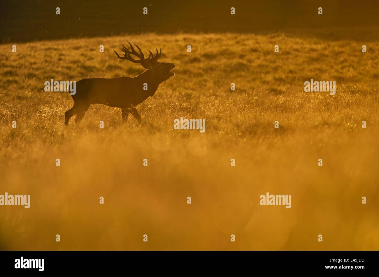 Red deer (Cervus elaphus) stag calling at sunset during rut, Klampenborg Dyrehaven, Denmark, September 2008 - Stock Image