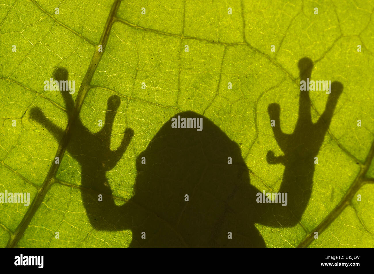 Common tree frog (Hyla arborea) silhouette viewed through leaf, the Netherlands Stock Photo