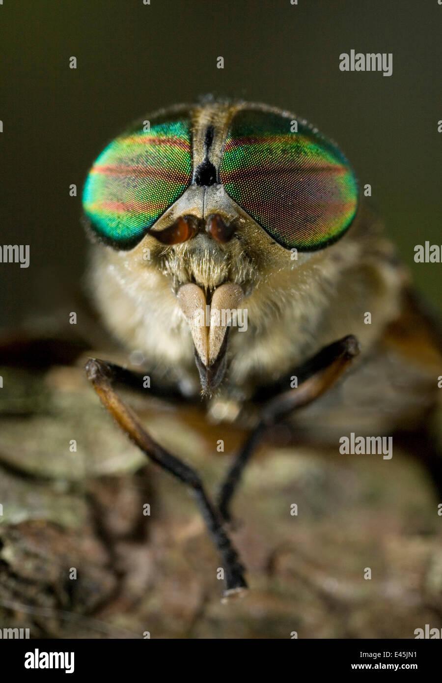Head of Horsefly (Tabanus sp) showing compound eyes, UK - Stock Image