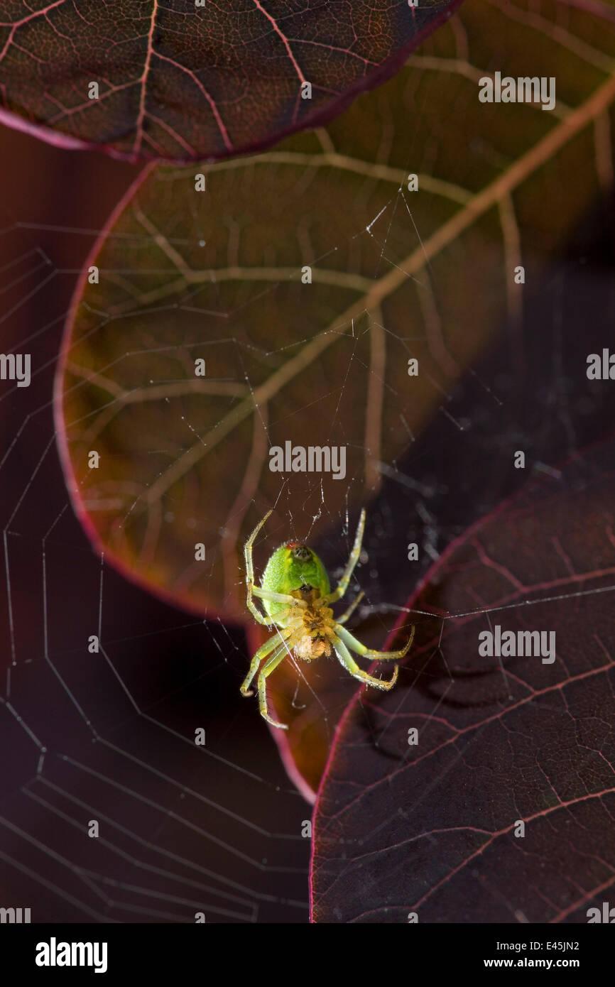 Cucumber spider (Araniella cucurbitina) in its web, UK - Stock Image