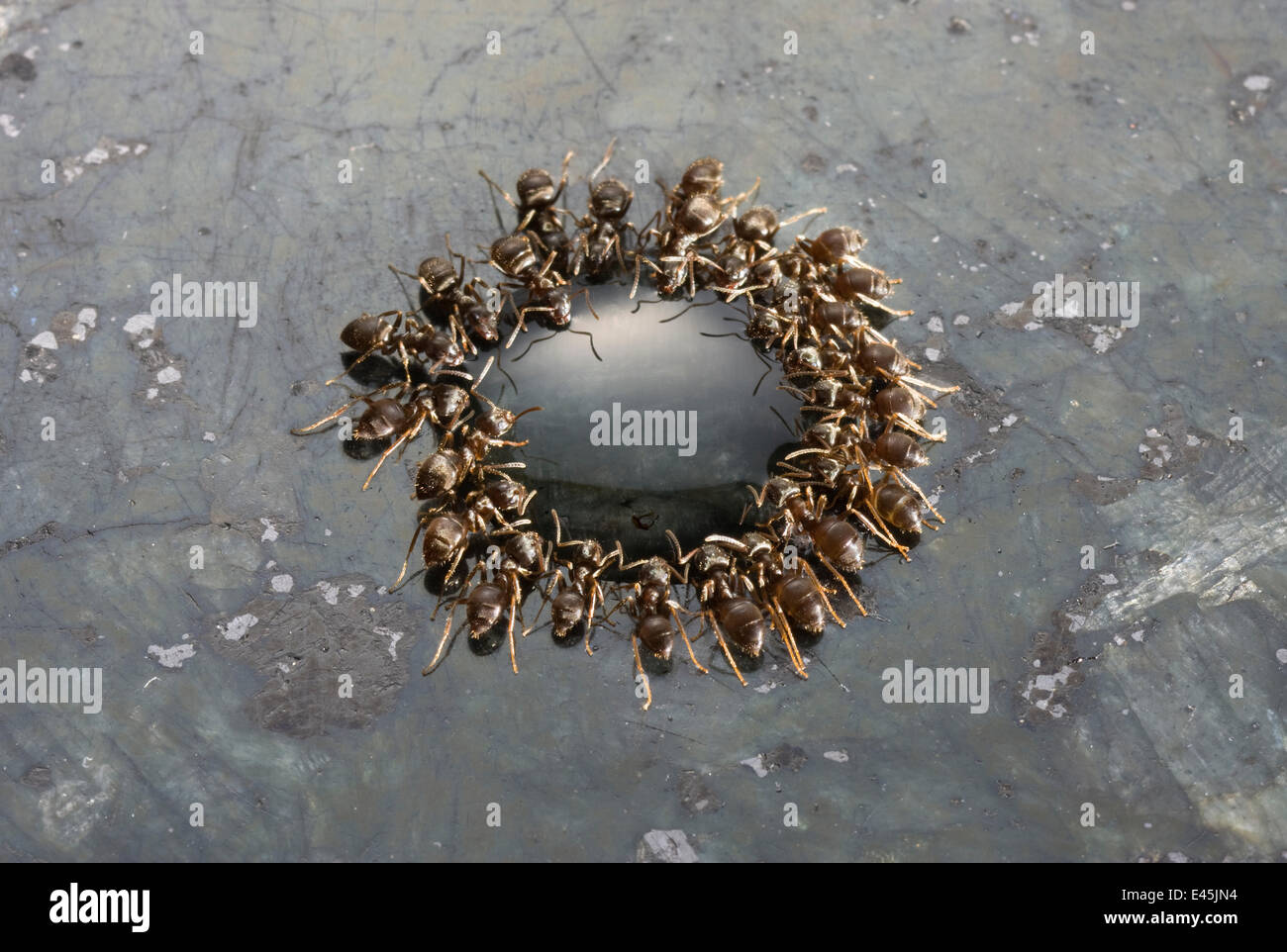 Garden black ants {Lasius niger} feeding on drop of syrup on granite work surface, UK - Stock Image