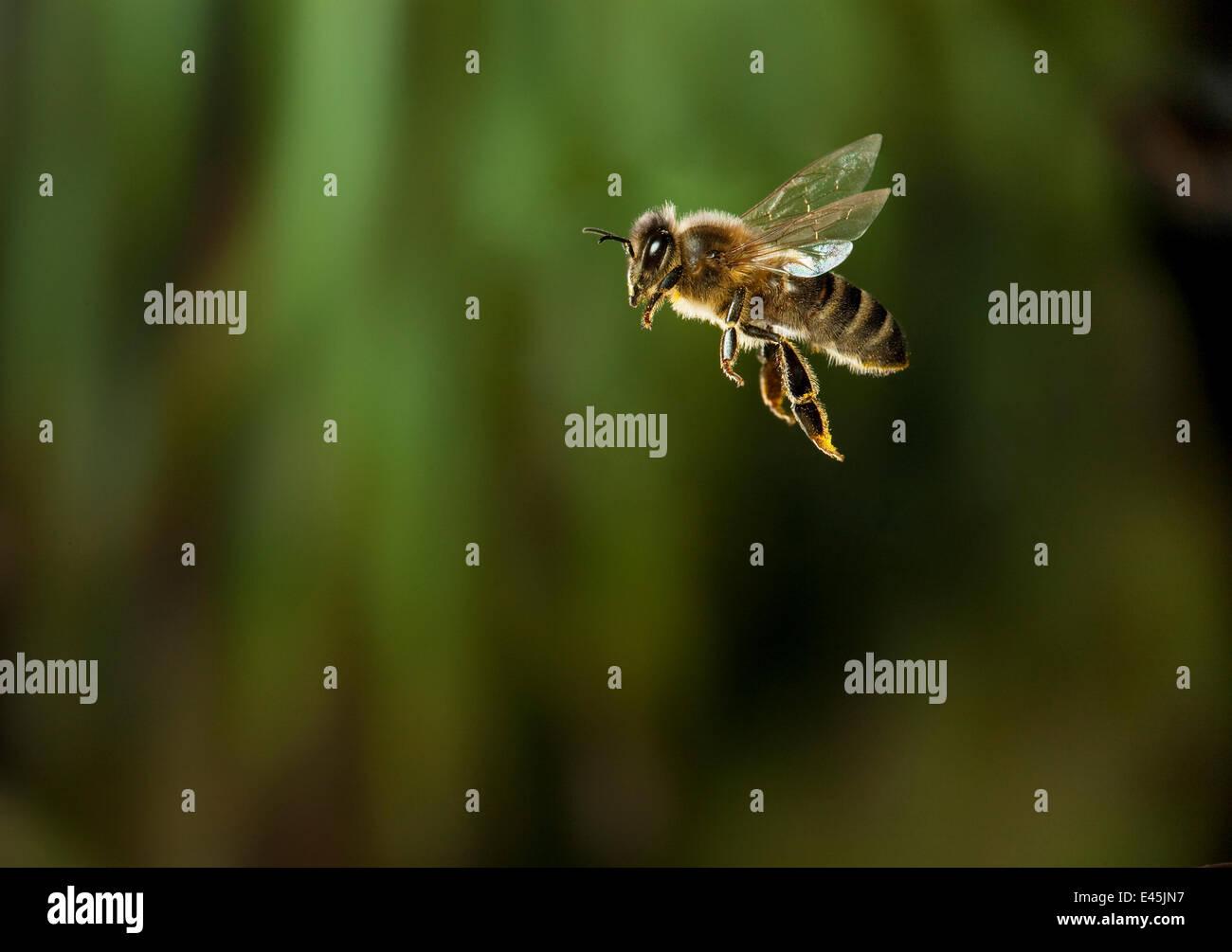 Honeybee (Apis mellifera) in flight, UK Stock Photo