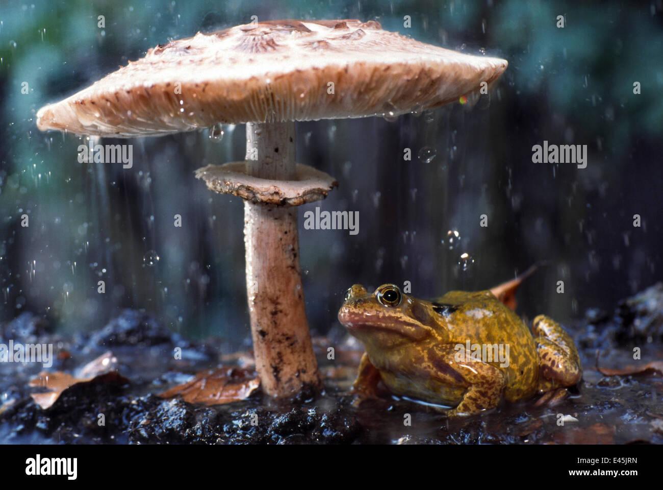 Common frog (Rana temporaria) sheltering from rain under toadstool (Macrolepiota procera) the Netherlands - Stock Image
