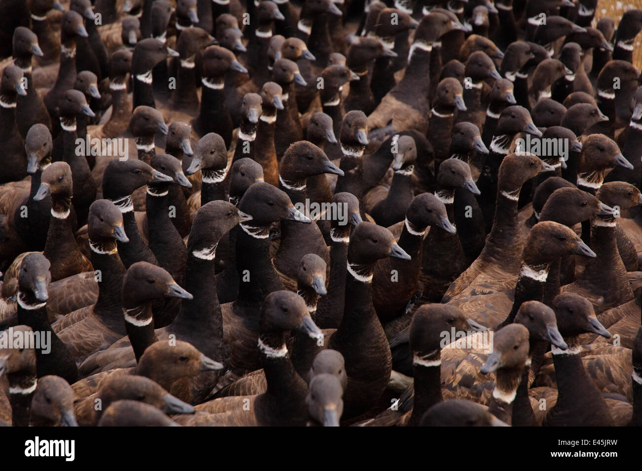 Molting Brant (Branta bernicla)  held in enclosure during a banding operation in the Teshekpuk Lake Special Area. - Stock Image