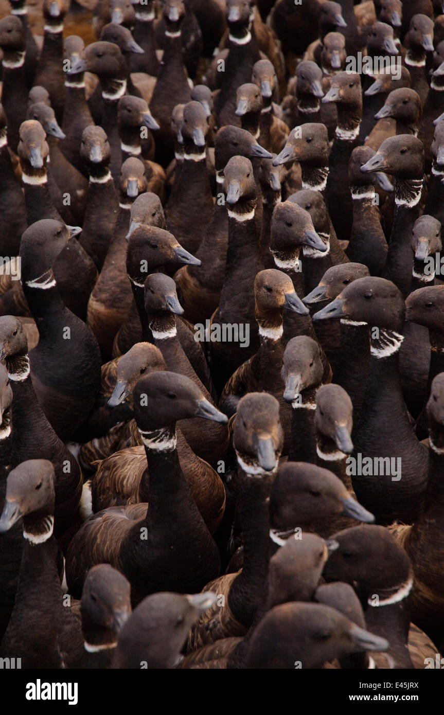 Molting Brant (Branta bernicla)  held in a enclosure during a banding operation in the Teshekpuk Lake Special Area. - Stock Image