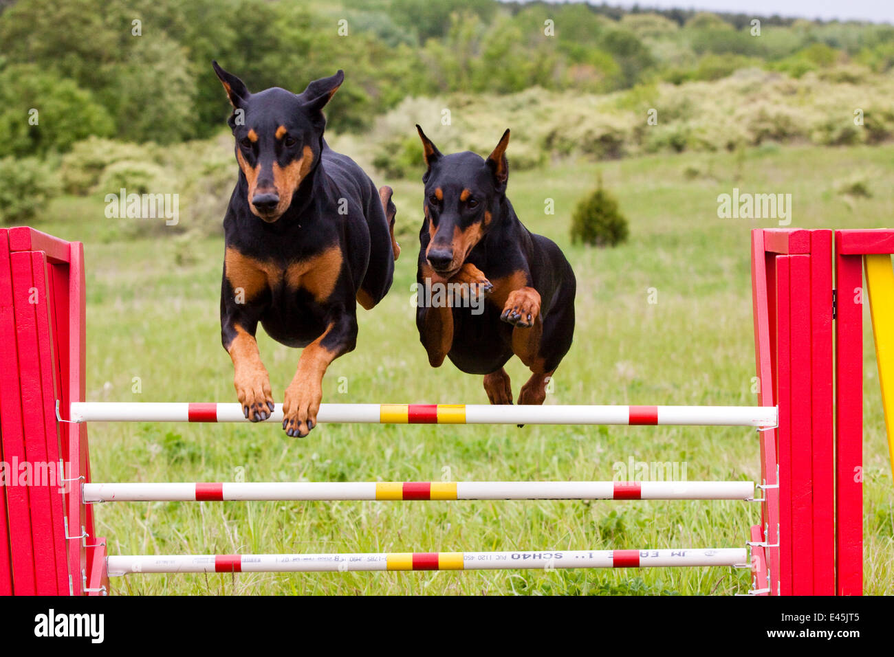 Domestic dog, two Doberman Pinchers jumping over agility course hurdle, Rockford, Illinois, USA - Stock Image