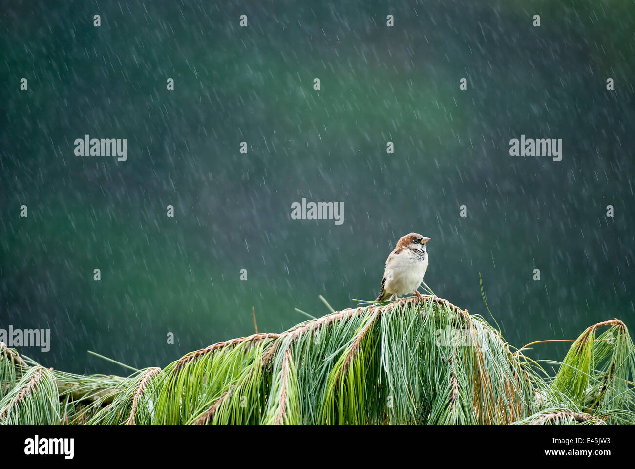 Male House sparrow (Passer domesticus) peched on a fallen Fir tree in heavy rain, Christchurch, New Zealand, March Stock Photo
