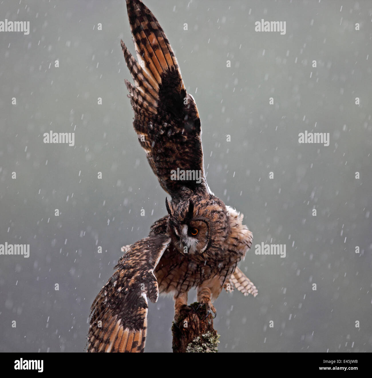 Long eared owl (Asio otus) perched on post, shaking wings in rain, Wales - Stock Image