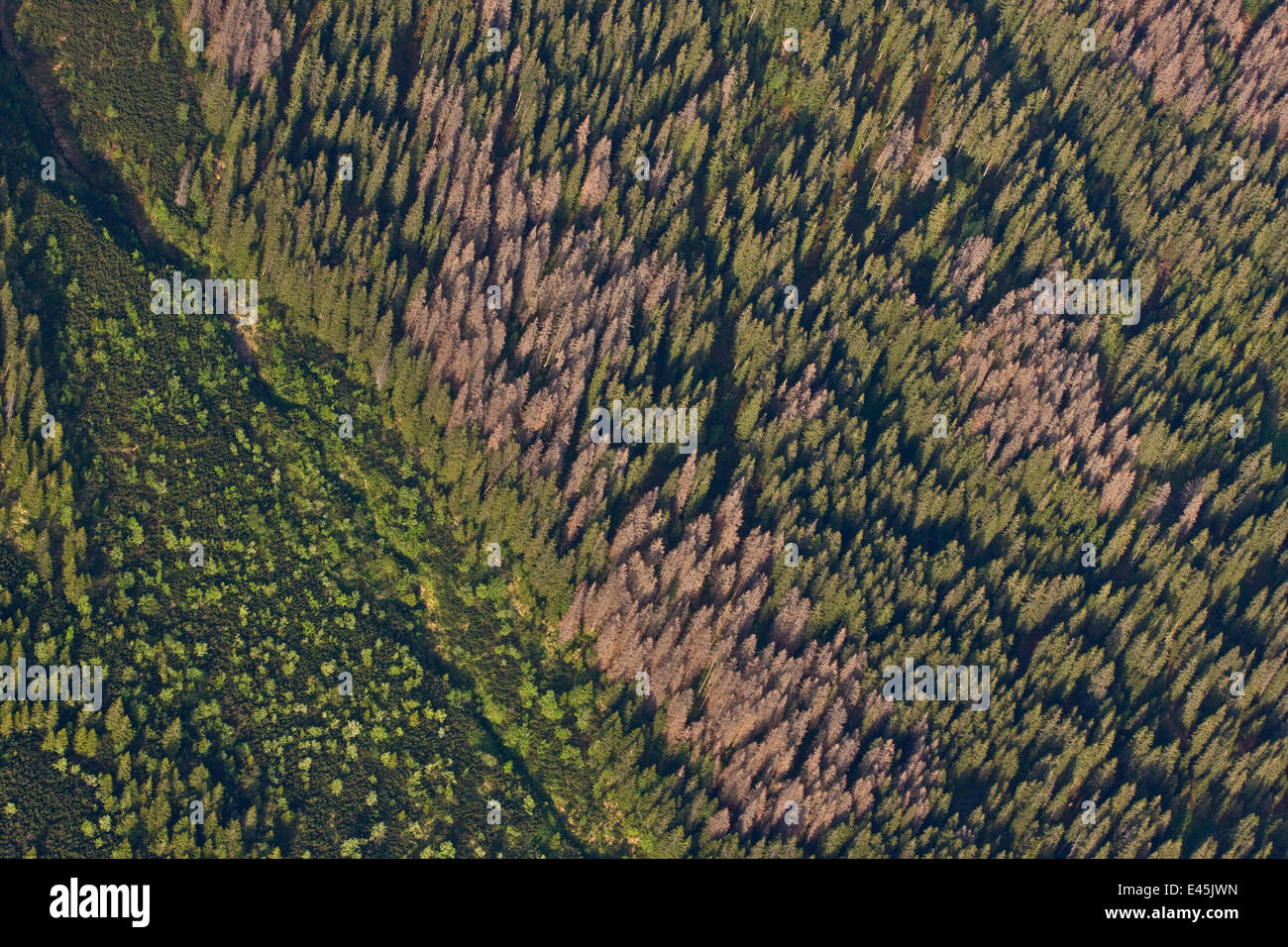 Aerial view of border between spruce forest and Dwarf mountain pine (Pinus mugo) zones showing several trees killed - Stock Image