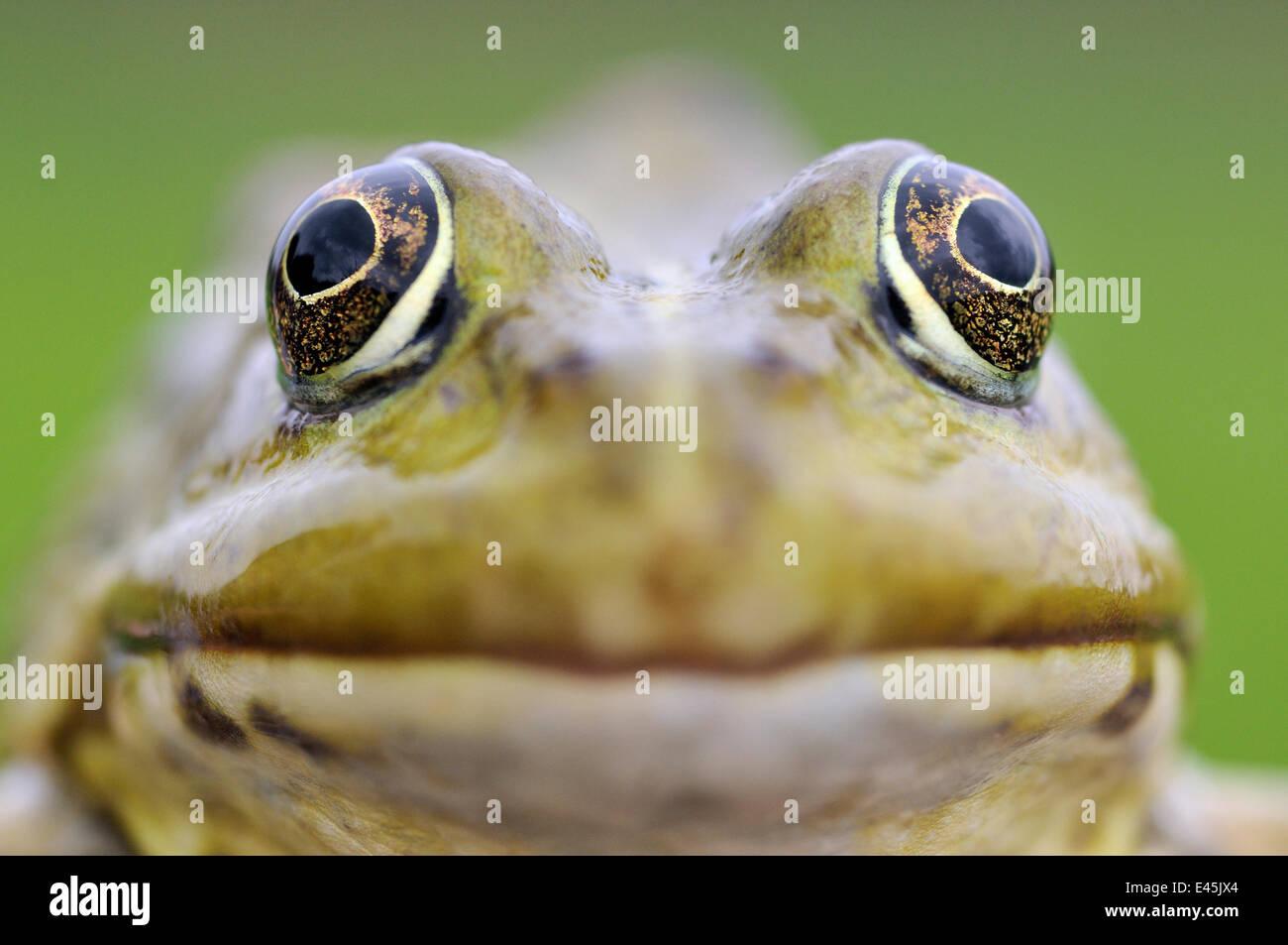 European edible frog (Rana Esculenta) close-up, Prypiat area, Belarus, June 2009 - Stock Image