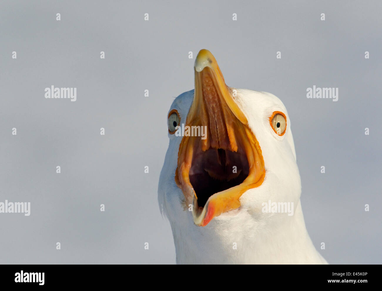 Herring Gull (Larus argentatus) calling, Lokka, Finland, May - Stock Image
