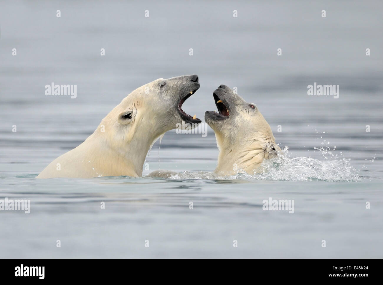 Polar Bear (Ursus maritimus) mother and cub playing in water, Svalbard, Norway, September 2009 Stock Photo