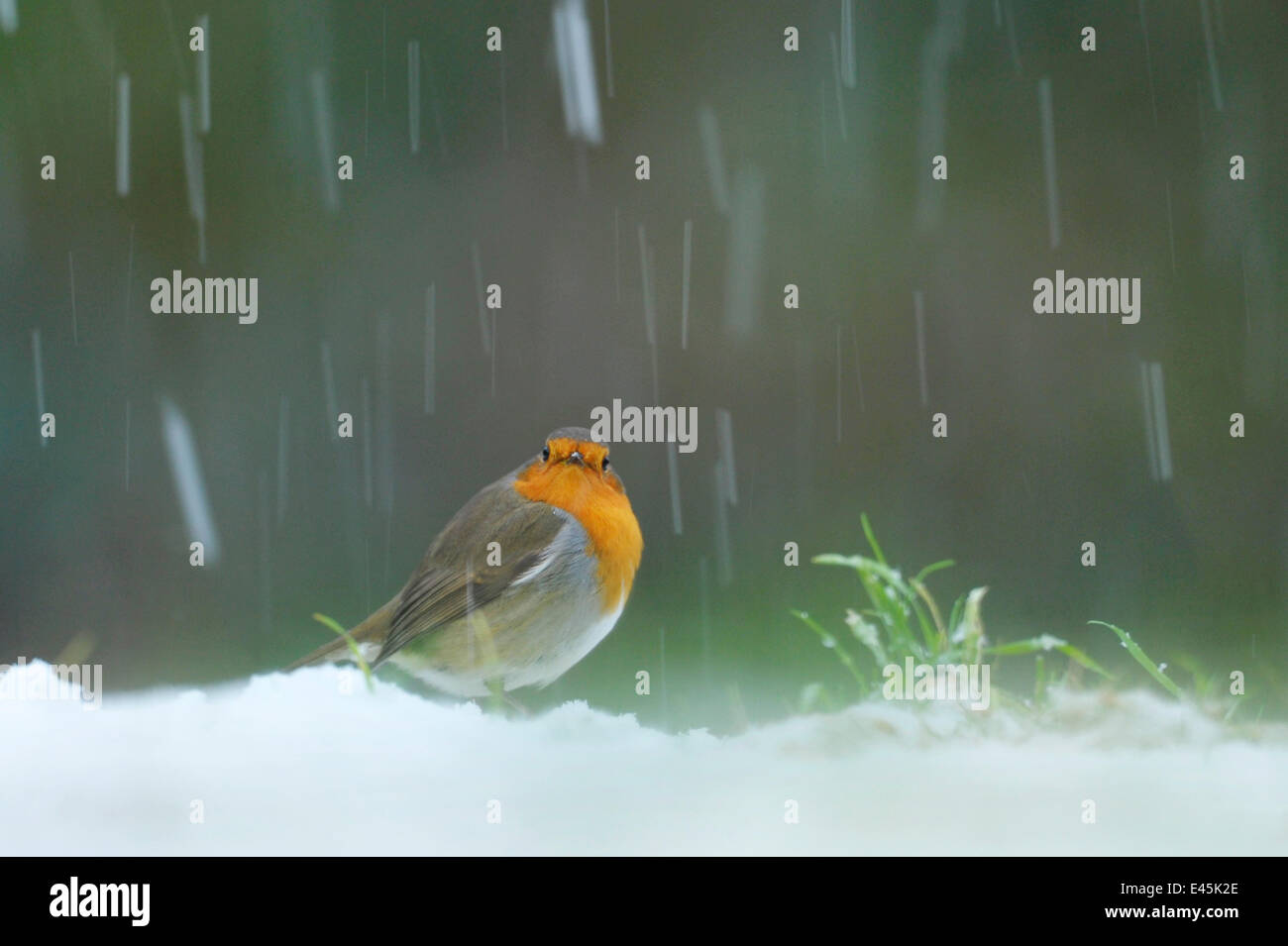 European Robin (Erithacus rubecula) in snow, Wales, UK - Stock Image