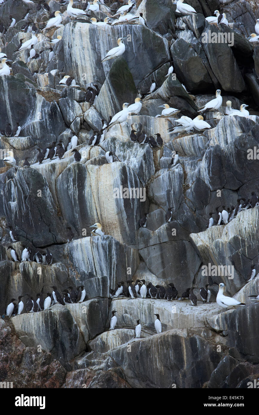 Northern gannets (Morus bassanus) and Common guillemots (Uria aalge) on rock face, The Flannans, Outer Hebrides, - Stock Image