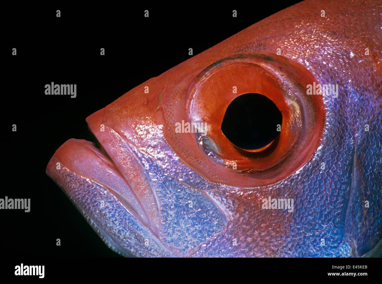 Close up of Goggle eye / Bigeye fish (Priacanthus hamrur) Red Sea ...