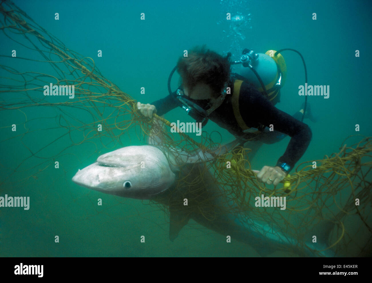 Sequence 2/3 Diver with anti-shark POD examininf Tiger shark (Galeocerdo cuvier) caught in anti-shark net off Durban Stock Photo